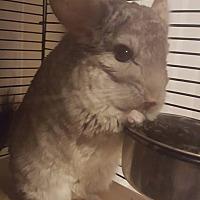 Chinchilla for adoption in Lindenhurst, New York - Temperance