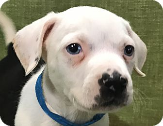 American Pit Bull Terrier Mix Puppy for adoption in Garland, Texas - Rick