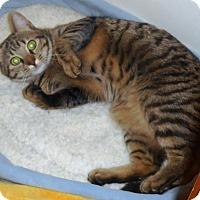 Bengal Cat for adoption in Parkton, North Carolina - Thea
