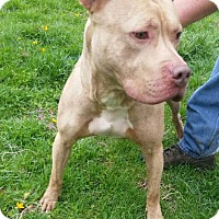 Pit Bull Terrier Dog for adoption in Warrensburg, Missouri - Dozer