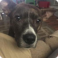 American Pit Bull Terrier/Boston Terrier Mix Dog for adoption in Hagerstown, Maryland - Ra