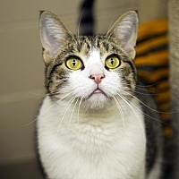 Domestic Shorthair Cat for adoption in Long Beach, New York - Butterfly