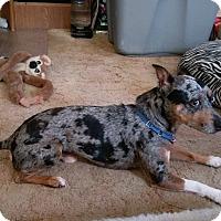 Adopt A Pet :: Jax - Hazelwood, MO
