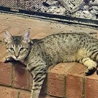 Domestic Shorthair/Domestic Shorthair Mix Cat for adoption in McDonough, Georgia - Bebop