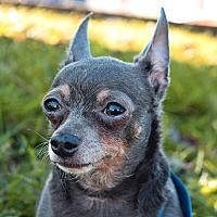 Adopt A Pet :: Missy Boo - Manassas, VA
