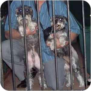 Schnauzer (Miniature) Dog for adoption in Redondo Beach, California - Sasha- Courtesy in Hercules CA