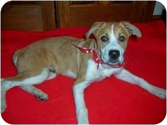 Collie/Boxer Mix Puppy for adoption in Taylor Mill, Kentucky - Bentley-HOUSEBROKEN