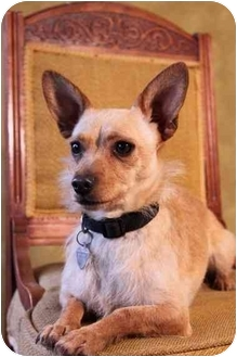 Cairn Terrier/Norwich Terrier Mix Dog for adoption in Portland, Oregon - Parka