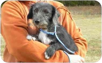 Schnauzer (Miniature)/Wirehaired Fox Terrier Mix Dog for adoption in New Fairfield, Connecticut - Bebe