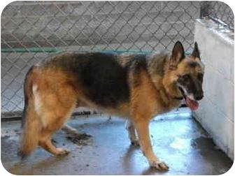 German Shepherd Dog Dog for adoption in Hamilton, Montana - Zena