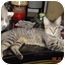 Photo 1 - Domestic Shorthair Cat for adoption in Medford, New Jersey - Lil Tig