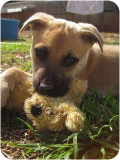 Shepherd (Unknown Type)/Labrador Retriever Mix Puppy for adoption in Olive Branch, Mississippi - Toby - Special Needs!