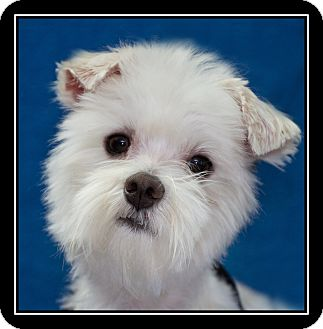Maltese/Westie, West Highland White Terrier Mix Dog for adoption in Fort Braff, California - Marty