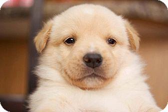 Shepherd (Unknown Type)/Collie Mix Puppy for adoption in Spruce Grove, Alberta - Vaughn