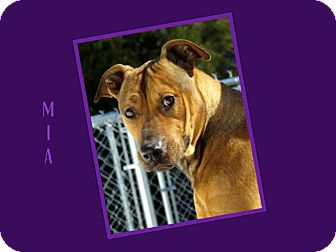 Labrador Retriever/Shepherd (Unknown Type) Mix Dog for adoption in Dallas, North Carolina - MIA