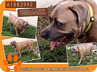 Mastiff Mix Dog for adoption in Orlando, Florida - Bismark
