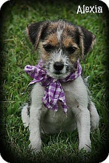 Chihuahua/Jack Russell Terrier Mix Puppy for adoption in Brattleboro, Vermont - Alexia