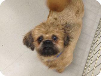 Shih Tzu Dog for adoption in Kansas city, Missouri - Mugsy