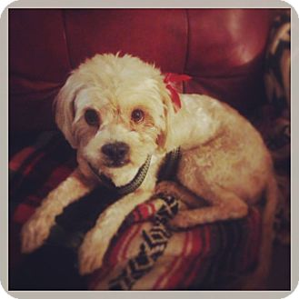 Maltese/Poodle (Miniature) Mix Dog for adoption in Seattle, Washington - Red aka Fred
