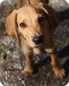 Hound (Unknown Type) Mix Puppy for adoption in Lyons, New York - Maximus