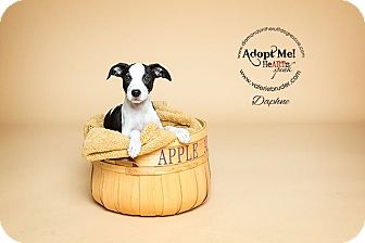 Boston Terrier/Pit Bull Terrier Mix Puppy for adoption in Philadelphia, Pennsylvania - Daphne
