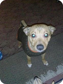 Cattle Dog/Terrier (Unknown Type, Medium) Mix Dog for adoption in Grand Rapids, Michigan - Hondo