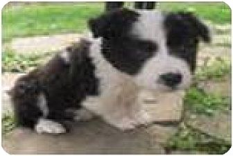Border Collie Mix Puppy for adoption in Beachwood, Ohio - Trixie