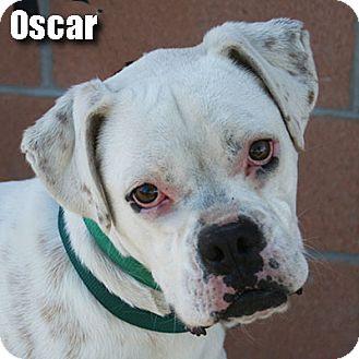 Boxer Puppy for adoption in Encino, California - Oscar