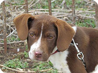 Pointer Mix Puppy for adoption in Reynoldsburg, Ohio - MALLORY