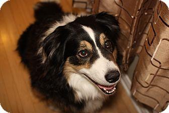 Australian Shepherd Dog for adoption in Rigaud, Quebec - Watson