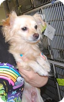 Chihuahua Mix Dog for adoption in Brooklyn, New York - Chompers