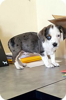 Cocker Spaniel/Australian Cattle Dog Mix Puppy for adoption in Winnetka, California - BLUE