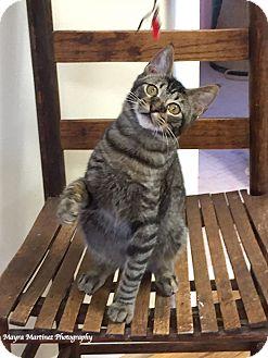 Domestic Shorthair Kitten for adoption in Marietta, Georgia - Anthony Purrkins