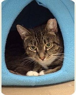 American Shorthair Cat for adoption in New York, New York - Aster