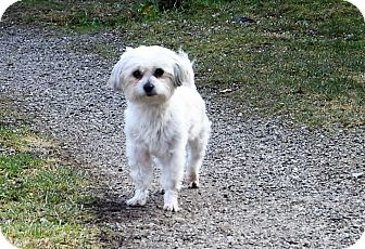 Maltese/Poodle (Miniature) Mix Dog for adoption in Hazard, Kentucky - Blanche