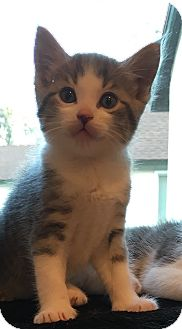 Domestic Shorthair Kitten for adoption in Anaheim Hills, California - Alvin