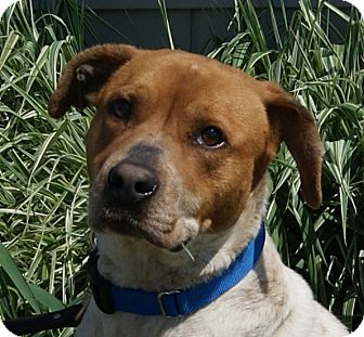Spaniel (Unknown Type)/Coonhound Mix Dog for adoption in Monroe, Michigan - Patton