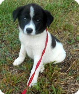 Border Collie/Labrador Retriever Mix Puppy for adoption in Allentown, New Jersey - Connor