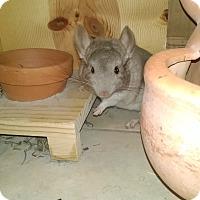 Adopt A Pet :: Cinnabun - Avondale, LA
