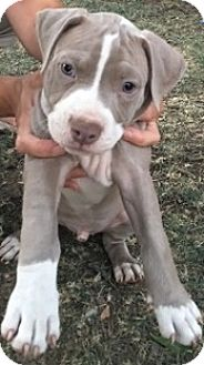 Pit Bull Terrier Mix Puppy for adoption in Woodland, California - Marcus