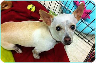 Chihuahua/Terrier (Unknown Type, Small) Mix Dog for adoption in Phoenix, Arizona - Dempsey