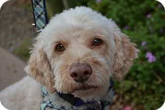 Cockapoo Mix Dog for adoption in Phoenix, Arizona - Ben