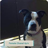 Adopt A Pet :: Chanel - Las Vegas, NV