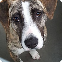 Adopt A Pet :: Noelle - Edisto Island, SC