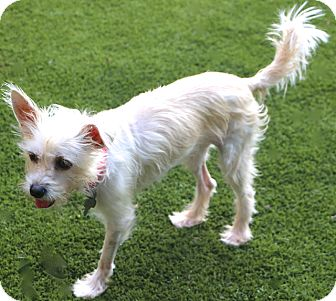 Terrier (Unknown Type, Small) Mix Dog for adoption in Bedminster, New Jersey - Priscilla - been through a lot