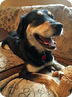 Australian Shepherd Mix Dog for adoption in Bedford Hills, New York - Siena