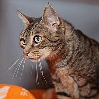 Adopt A Pet :: P Kitty - Mission Hills, CA