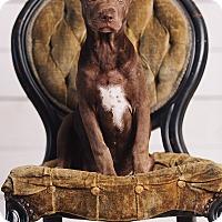 Adopt A Pet :: Ginny Weasley - Portland, OR