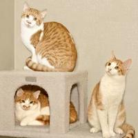 Domestic Shorthair/Domestic Shorthair Mix Cat for adoption in Cashiers, North Carolina - Moe