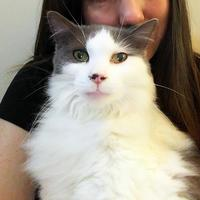 Adopt A Pet :: RORY (BONDED WITH LORELAI - THORNHILL, ON